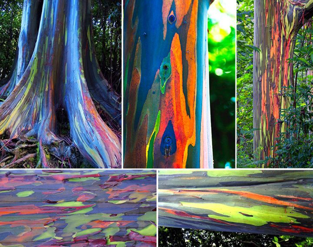 575071 10151079117408273 773756070 n Cores da Natureza: Rainbow Eucalyptus + Morning Glory Pool