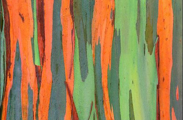 colorful bark rainbow eucalyptus tree large msg 117371413468 Cores da Natureza: Rainbow Eucalyptus + Morning Glory Pool