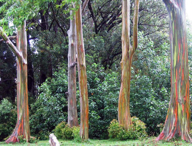 rainbow eucalpytus tree Cores da Natureza: Rainbow Eucalyptus + Morning Glory Pool