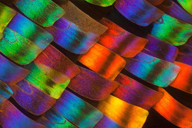 follow the colours linden gledhill borboletas 01 Asas de borboleta vistas sobre microscópio