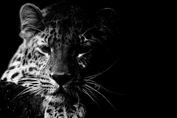14 animais em extinção são transformados em tatuagens pela WWF Rússia