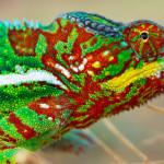 Cientistas descobrem como os camaleões mudam de cor