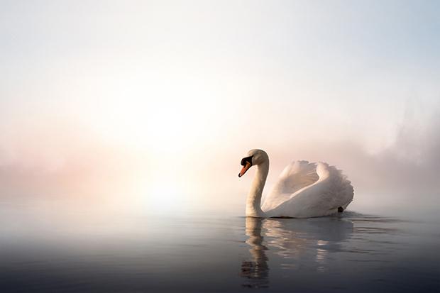 Shutterstock significado cisne branco