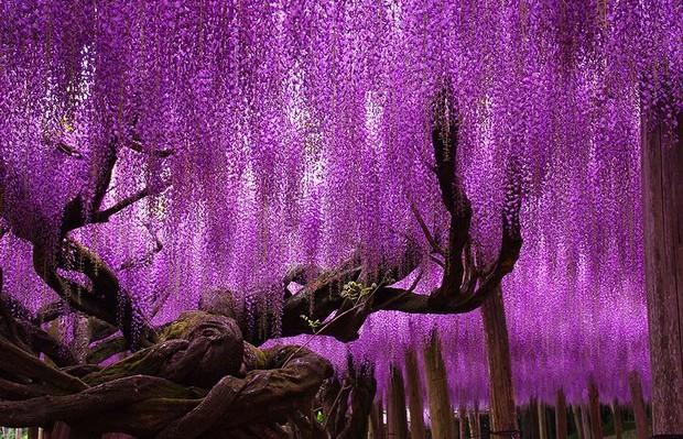 glicínia árvore mais bonita do mundo Japão