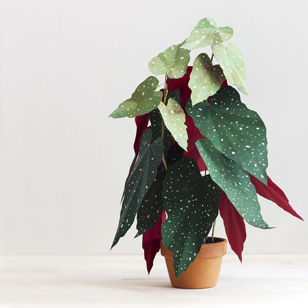corrie_hogg_paper_plant_begonia-571e48ff409bd__880