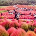 Parque Hitachi Seaside tem os mais belos tapetes de flores do Japão e muitas cores vibrantes