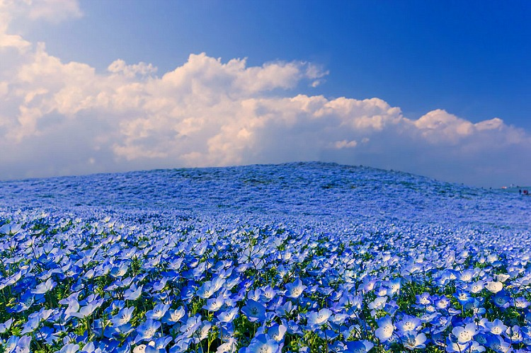 www.thegoldenscope.com-nemophilas-field-hitachi-seaside-park