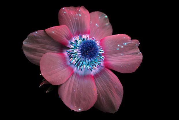 Fotógrafo captura a fascinante luz invisível que as flores emitem