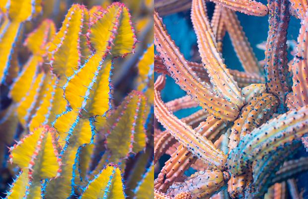 Fotografias infravermelho mostram cores surpreendentes em cactos que não são vistas a olho nu - Follow the Colours